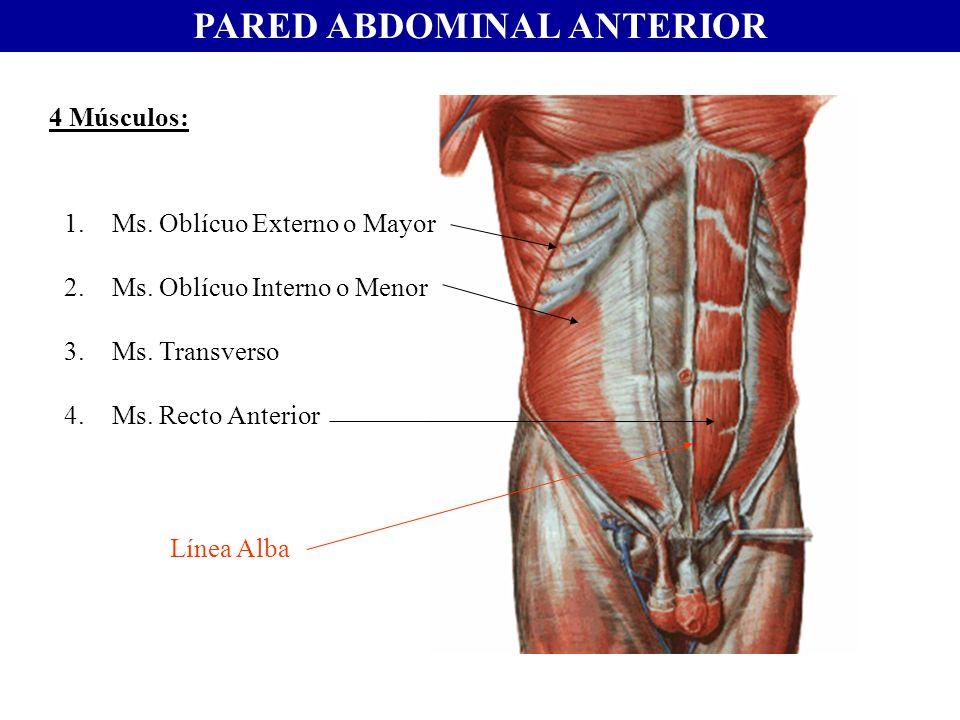 PARED ABDOMINAL ANTERIOR 4 Músculos: 1.Ms. Oblícuo Externo o Mayor 2.Ms. Oblícuo Interno o Menor 3.Ms. Transverso 4.Ms. Recto Anterior Línea Alba