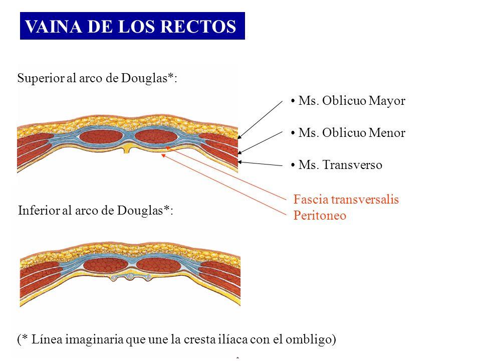 VAINA DE LOS RECTOS Superior al arco de Douglas*: Inferior al arco de Douglas*: Ms. Oblicuo Mayor Ms. Oblicuo Menor Ms. Transverso Fascia transversali