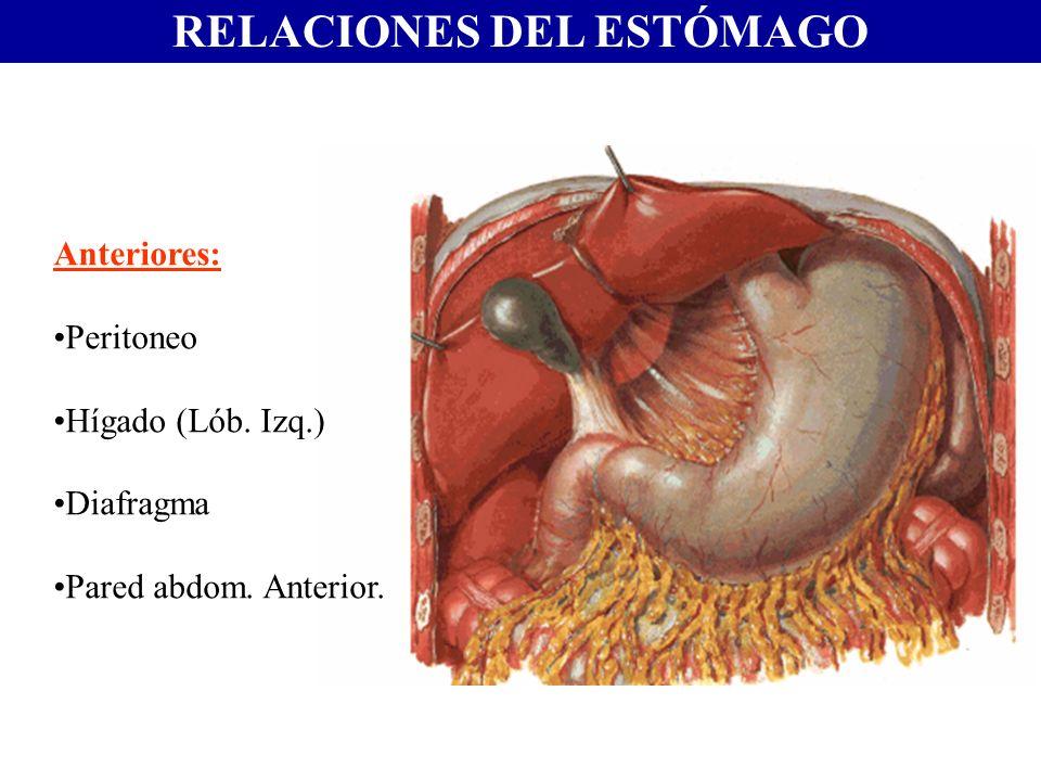 RELACIONES DEL ESTÓMAGO Anteriores: Peritoneo Hígado (Lób. Izq.) Diafragma Pared abdom. Anterior.