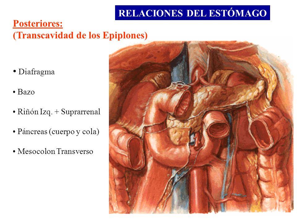 Posteriores: (Transcavidad de los Epiplones) Diafragma Bazo Riñón Izq. + Suprarrenal Páncreas (cuerpo y cola) Mesocolon Transverso RELACIONES DEL ESTÓ