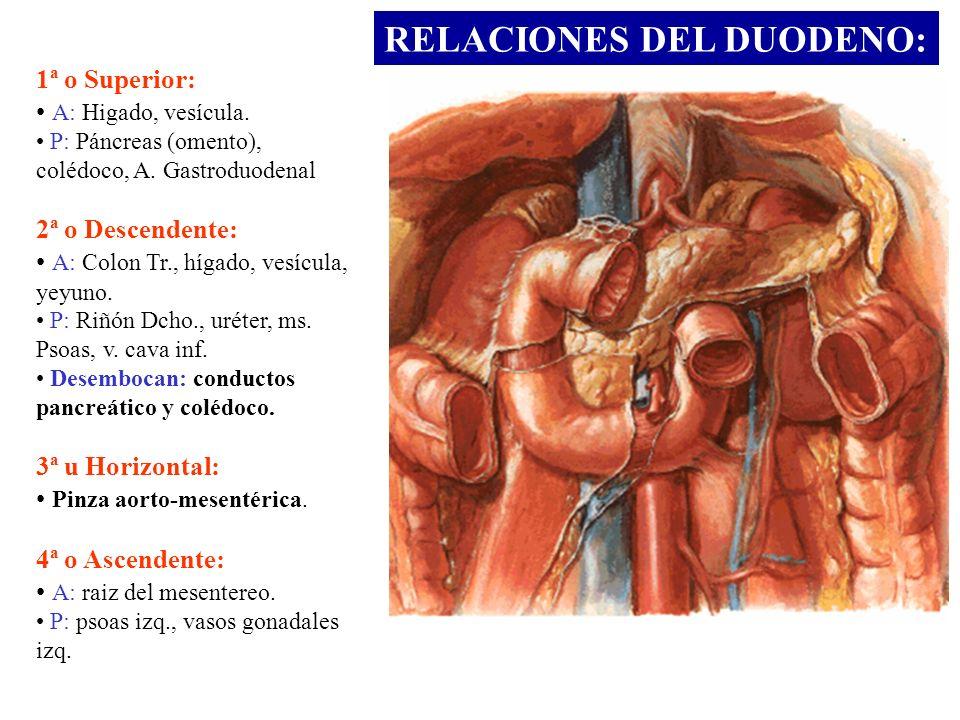 RELACIONES DEL DUODENO: 1ª o Superior: A: Higado, vesícula. P: Páncreas (omento), colédoco, A. Gastroduodenal 2ª o Descendente: A: Colon Tr., hígado,