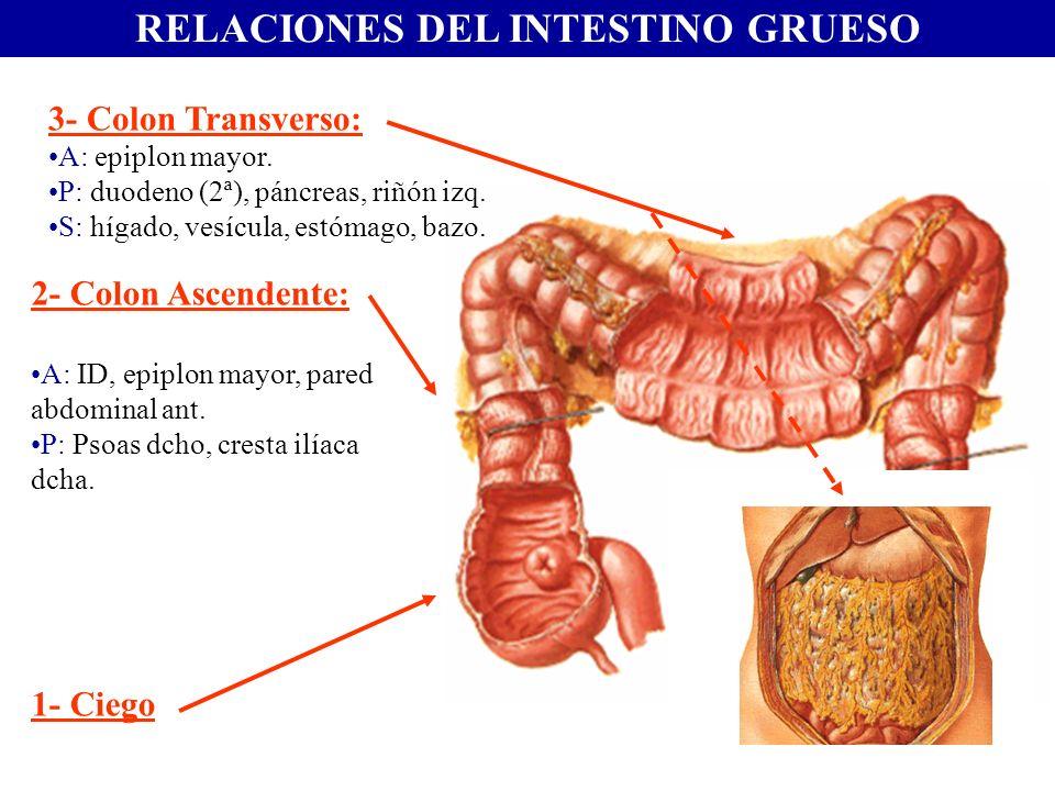 RELACIONES DEL INTESTINO GRUESO 2- Colon Ascendente: A: ID, epiplon mayor, pared abdominal ant. P: Psoas dcho, cresta ilíaca dcha. 1- Ciego 3- Colon T