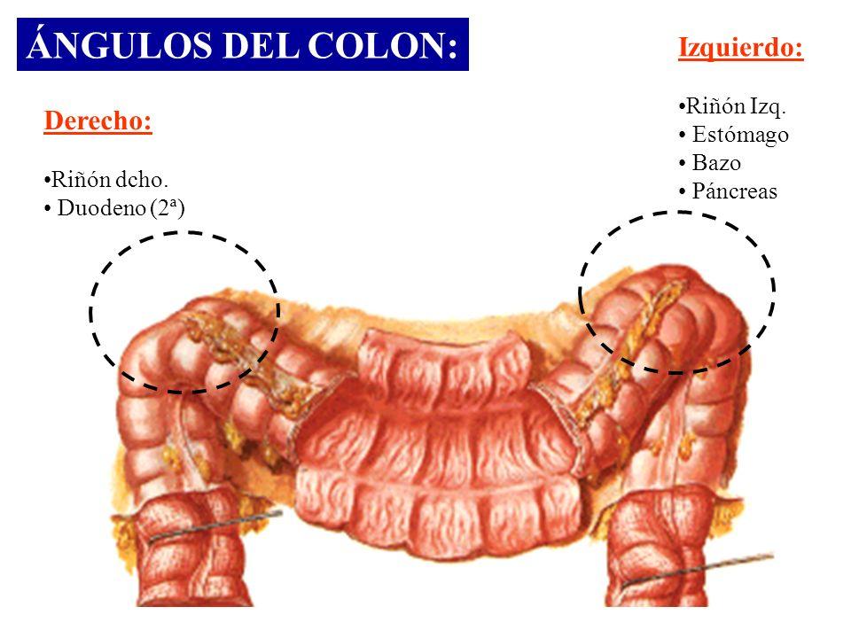 ÁNGULOS DEL COLON: Derecho: Riñón dcho. Duodeno (2ª) Izquierdo: Riñón Izq. Estómago Bazo Páncreas