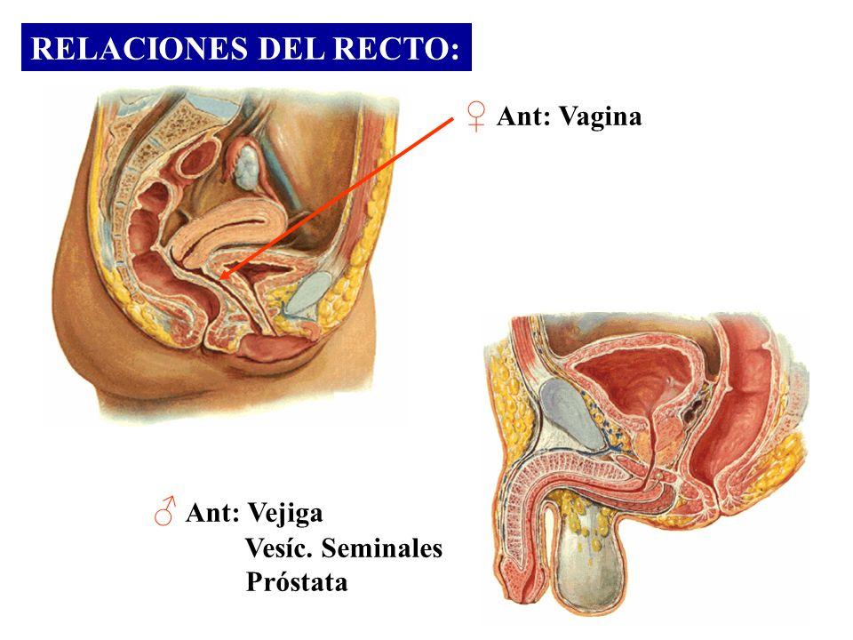 RELACIONES DEL RECTO: Ant: Vagina Ant: Vejiga Vesíc. Seminales Próstata