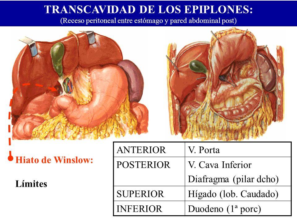 TRANSCAVIDAD DE LOS EPIPLONES: (Receso peritoneal entre estómago y pared abdominal post) Hiato de Winslow: Límites ANTERIORV. Porta POSTERIORV. Cava I