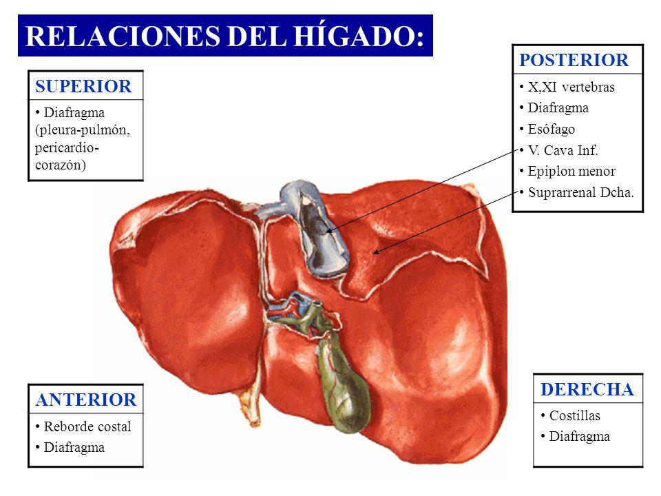 RELACIONES DEL HÍGADO: POSTERIOR X,XI vertebras Diafragma Esófago V. Cava Inf. Epiplon menor Suprarrenal Dcha. DERECHA Costillas Diafragma ANTERIOR Re