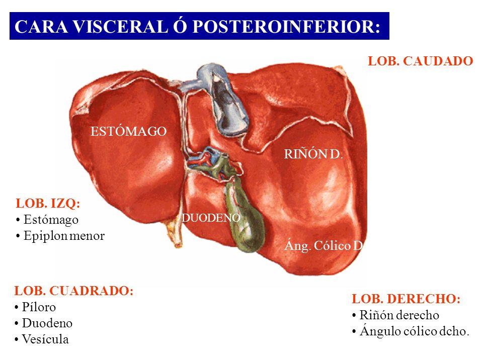 CARA VISCERAL Ó POSTEROINFERIOR: ESTÓMAGO RIÑÓN D. Áng. Cólico D DUODENO LOB. IZQ: Estómago Epiplon menor LOB. CUADRADO: Píloro Duodeno Vesícula LOB.