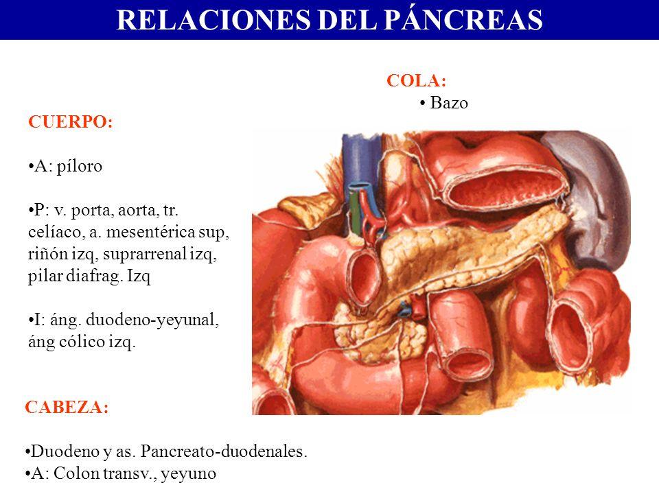 RELACIONES DEL PÁNCREAS CABEZA: Duodeno y as. Pancreato-duodenales. A: Colon transv., yeyuno CUERPO: A: píloro P: v. porta, aorta, tr. celíaco, a. mes