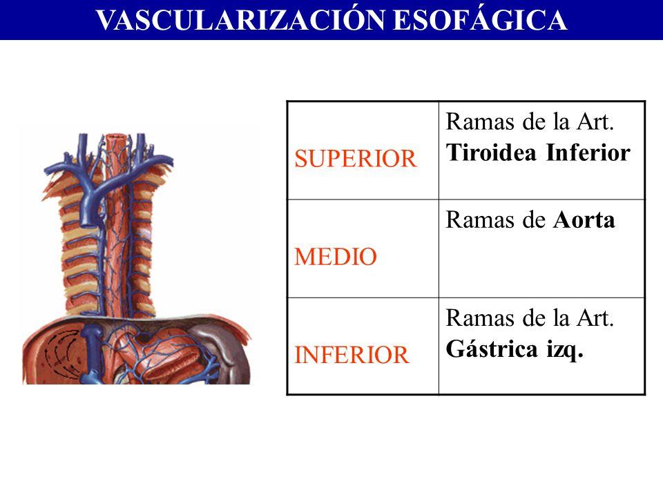 VASCULARIZACIÓN ESOFÁGICA SUPERIOR Ramas de la Art. Tiroidea Inferior MEDIO Ramas de Aorta INFERIOR Ramas de la Art. Gástrica izq.