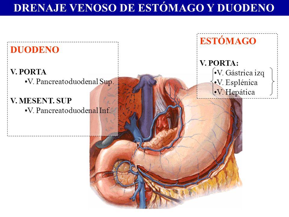 DRENAJE VENOSO DE ESTÓMAGO Y DUODENO ESTÓMAGO V. PORTA: V. Gástrica izq V. Esplénica V. Hepática DUODENO V. PORTA V. Pancreatoduodenal Sup. V. MESENT.
