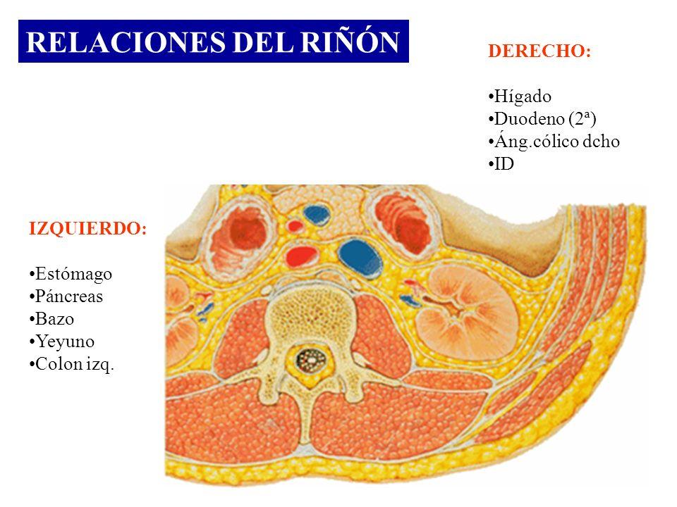 RELACIONES DEL RIÑÓN IZQUIERDO: Estómago Páncreas Bazo Yeyuno Colon izq. DERECHO: Hígado Duodeno (2ª) Áng.cólico dcho ID