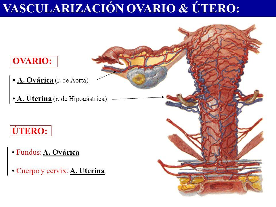 VASCULARIZACIÓN OVARIO & ÚTERO: OVARIO: A. Ovárica (r. de Aorta) A. Uterina (r. de Hipogástrica) ÚTERO: Fundus: A. Ovárica Cuerpo y cervix: A. Uterina