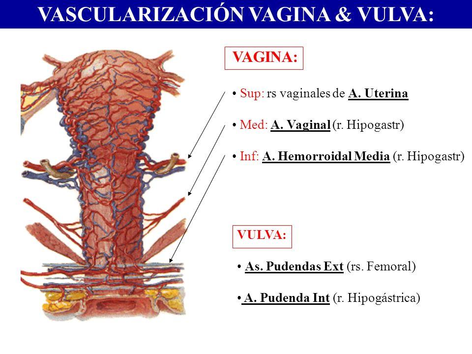 VASCULARIZACIÓN VAGINA & VULVA: VAGINA: Sup: rs vaginales de A. Uterina Med: A. Vaginal (r. Hipogastr) Inf: A. Hemorroidal Media (r. Hipogastr) VULVA: