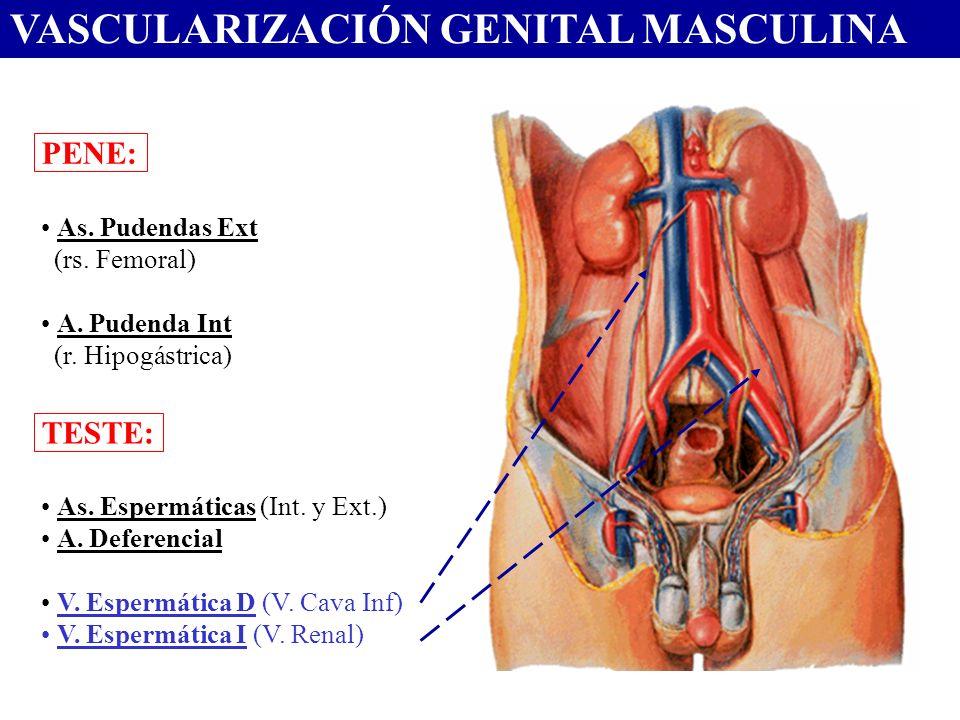 VASCULARIZACIÓN GENITAL MASCULINA PENE: As. Pudendas Ext (rs. Femoral) A. Pudenda Int (r. Hipogástrica) TESTE: As. Espermáticas (Int. y Ext.) A. Defer