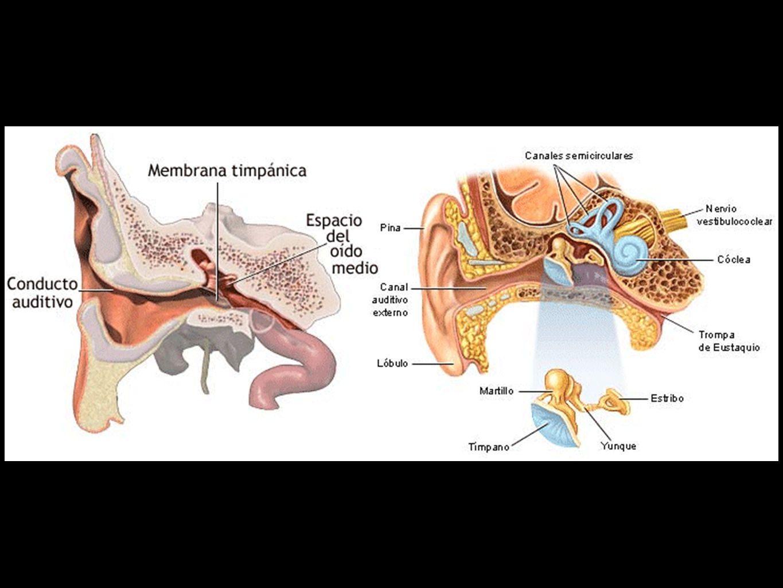 Músculo del Martillo, inervado por el nervio Masticador, rama del trigémino.