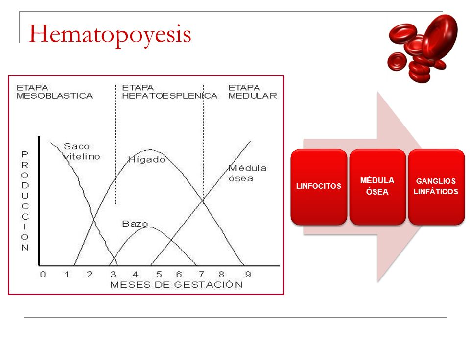 Hematopoyesis LINFOCITOS MÉDULA ÓSEA GANGLIOS LINFÁTICOS