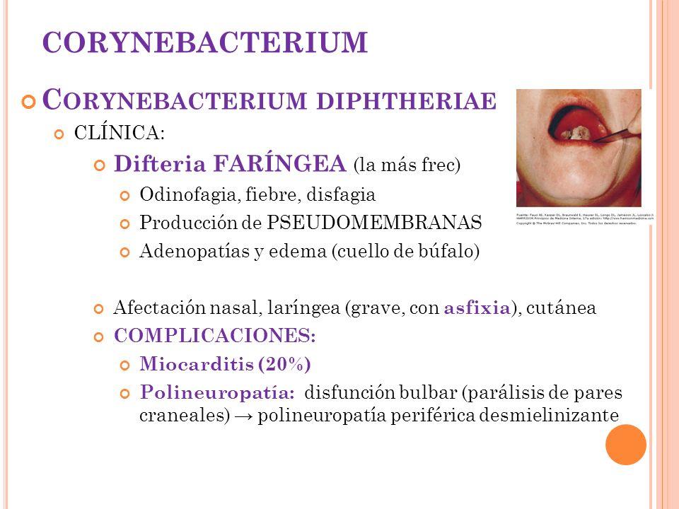CORYNEBACTERIUM C ORYNEBACTERIUM DIPHTHERIAE CLÍNICA: Difteria FARÍNGEA (la más frec) Odinofagia, fiebre, disfagia Producción de PSEUDOMEMBRANAS Adeno