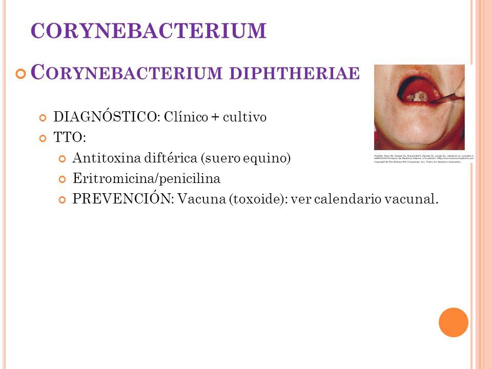 CORYNEBACTERIUM C ORYNEBACTERIUM DIPHTHERIAE DIAGNÓSTICO: Clínico + cultivo TTO: Antitoxina diftérica (suero equino) Eritromicina/penicilina PREVENCIÓ