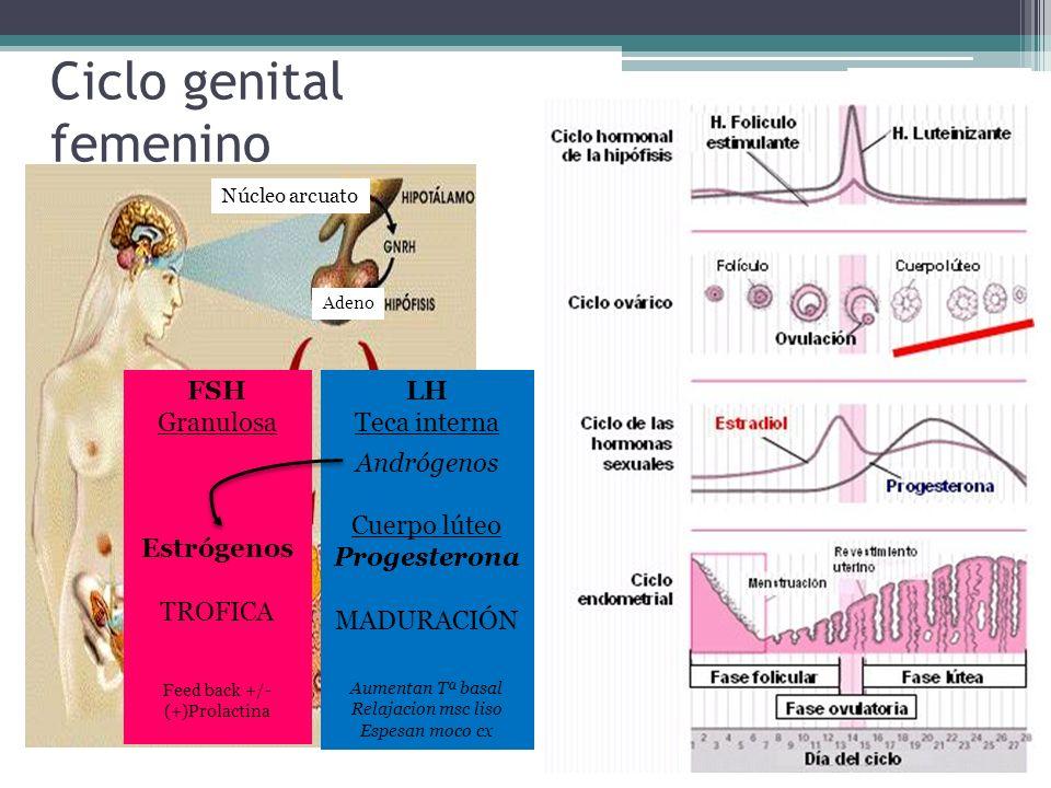Ciclo genital femenino Núcleo arcuato Adeno FSH Granulosa Estrógenos TROFICA Feed back +/- (+)Prolactina LH Teca interna Andrógenos Cuerpo lúteo Proge