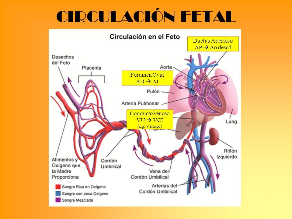 CIRCULACIÓN FETAL ConductoVenoso VU VCI (Lg. Venoso) Ductus Arterioso AP Ao descd Foramen Oval AD AI