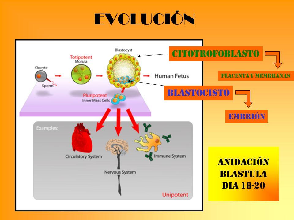 PREECLAMPSIA Factores RiesgoFPGComplicaciones Primigesta Edad extrema Diabetes Gemelar Trombofilia Vasoespasmo Vasoespasmo >TirosinK Inmune antipadre Sd.