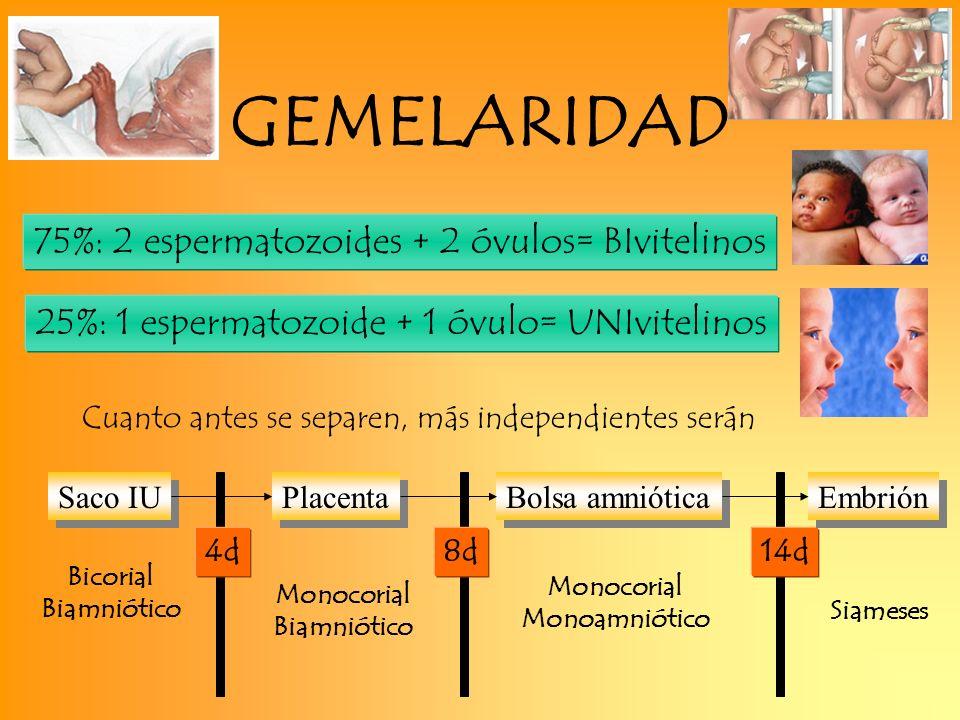 75%: 2 espermatozoides + 2 óvulos= BIvitelinos 25%: 1 espermatozoide + 1 óvulo= UNIvitelinos Cuanto antes se separen, más independientes serán Bicoria