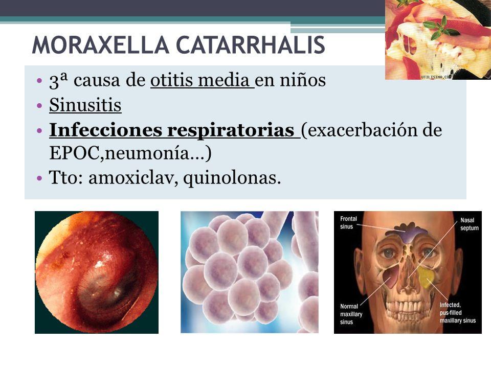 MORAXELLA CATARRHALIS 3ª causa de otitis media en niños Sinusitis Infecciones respiratorias (exacerbación de EPOC,neumonía…) Tto: amoxiclav, quinolona