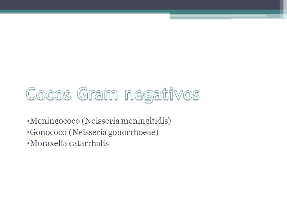 Meningococo (Neisseria meningitidis) Gonococo (Neisseria gonorrhoeae) Moraxella catarrhalis