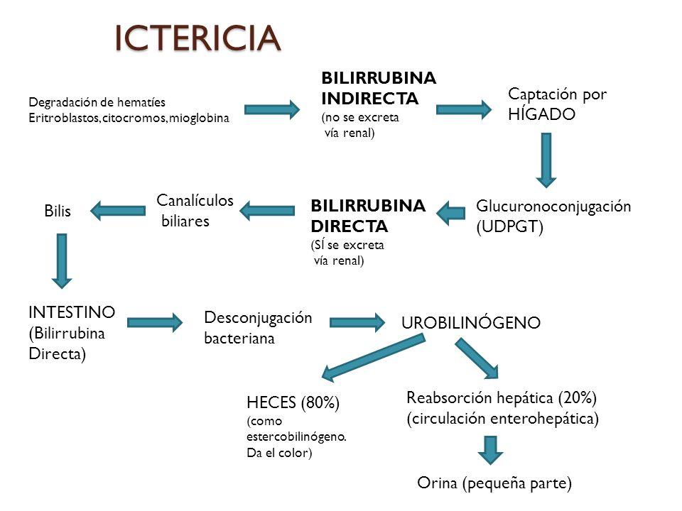 ICTERICIA Degradación de hematíes Eritroblastos, citocromos, mioglobina BILIRRUBINA INDIRECTA (no se excreta vía renal) UROBILINÓGENO HECES (80%) (com