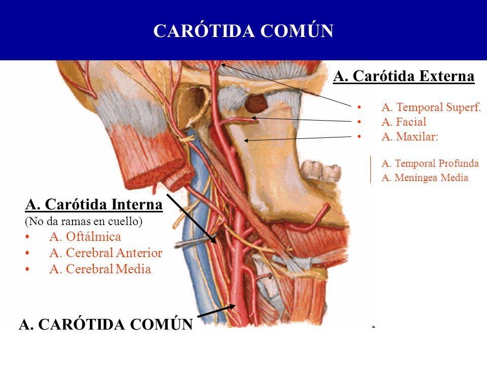 A. Carótida Interna (No da ramas en cuello) A. Oftálmica A. Cerebral Anterior A. Cerebral Media A. CARÓTIDA COMÚN A. Carótida Externa A. Temporal Supe