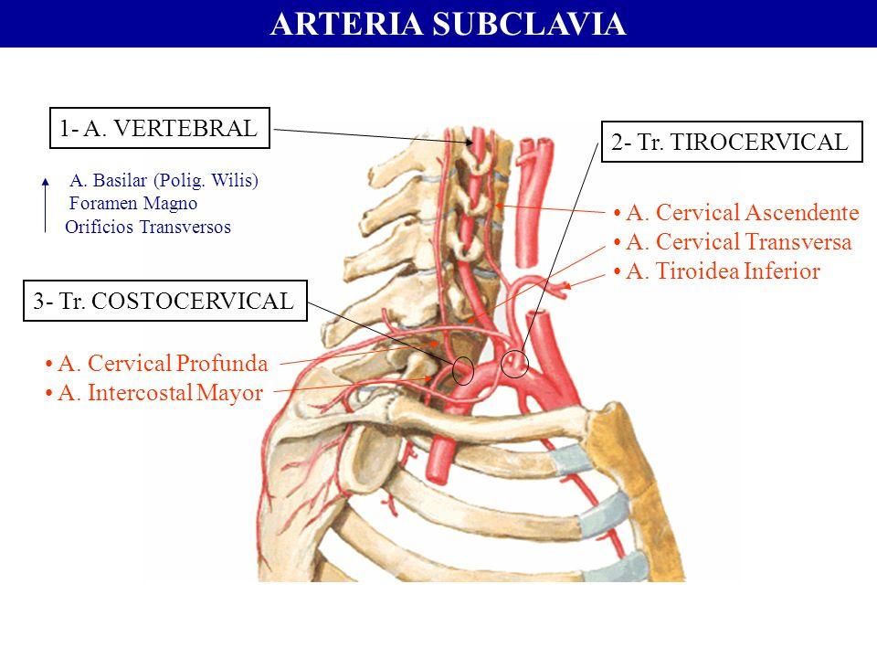 ARTERIA SUBCLAVIA 1- A. VERTEBRAL 2- Tr. TIROCERVICAL 3- Tr. COSTOCERVICAL A. Cervical Ascendente A. Cervical Transversa A. Tiroidea Inferior A. Cervi