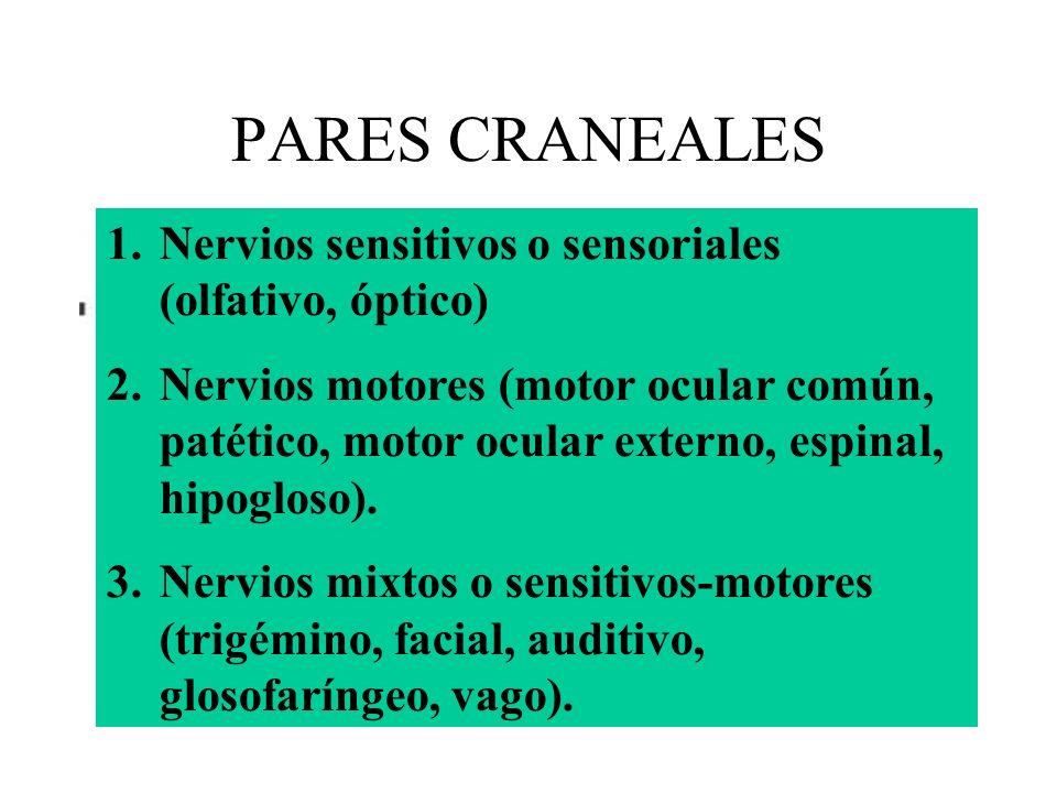 PARES CRANEALES 1.Nervios sensitivos o sensoriales (olfativo, óptico) 2.Nervios motores (motor ocular común, patético, motor ocular externo, espinal,