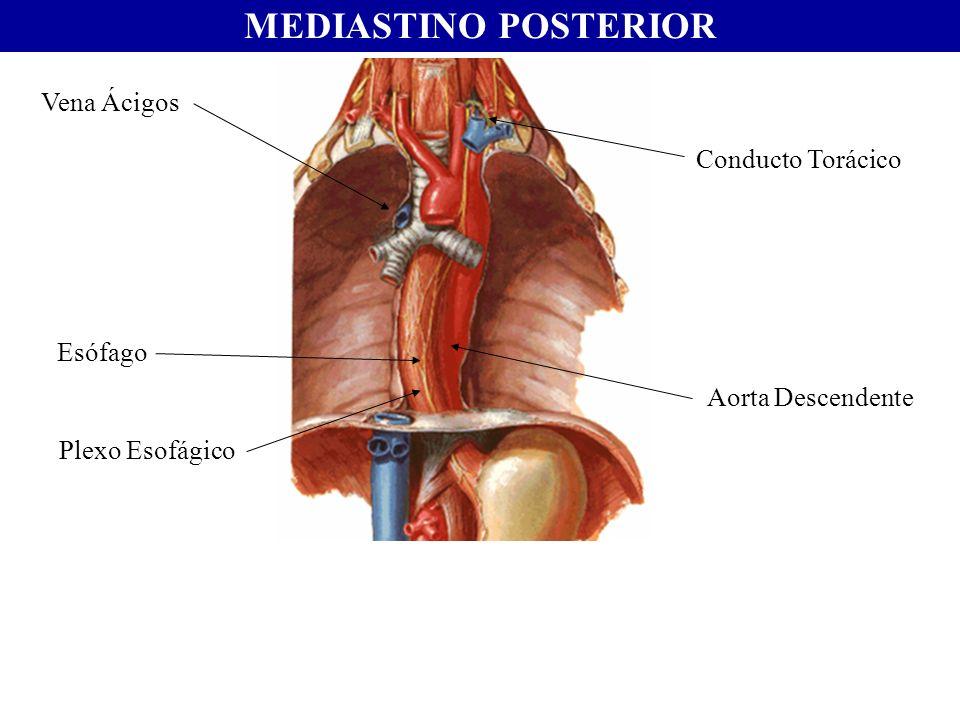 MEDIASTINO POSTERIOR Vena Ácigos Conducto Torácico Esófago Aorta Descendente Plexo Esofágico