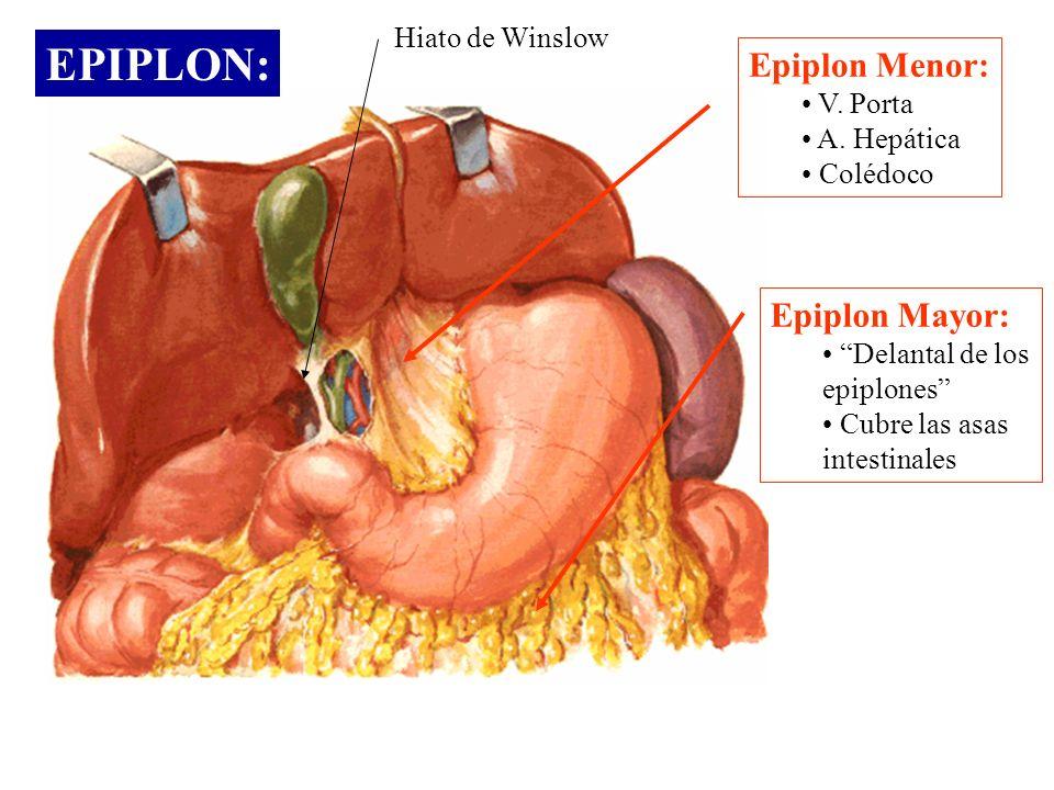 EPIPLON: Epiplon Menor: V. Porta A. Hepática Colédoco Epiplon Mayor: Delantal de los epiplones Cubre las asas intestinales Hiato de Winslow