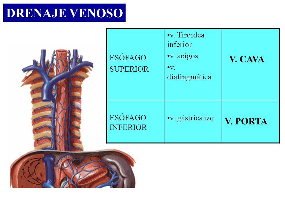DRENAJE VENOSO ESÓFAGO SUPERIOR v. Tiroidea inferior v. ácigos v. diafragmática V. CAVA ESÓFAGO INFERIOR v. gástrica izq. V. PORTA
