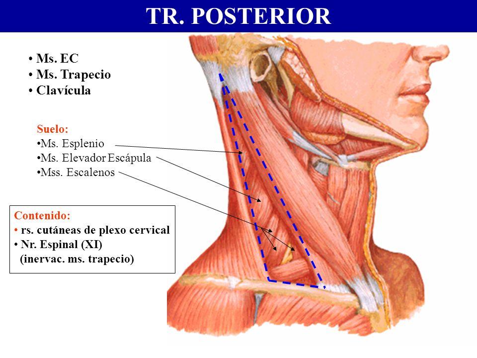 TR. POSTERIOR Ms. EC Ms. Trapecio Clavícula Contenido: rs. cutáneas de plexo cervical Nr. Espinal (XI) (inervac. ms. trapecio) Suelo: Ms. Esplenio Ms.