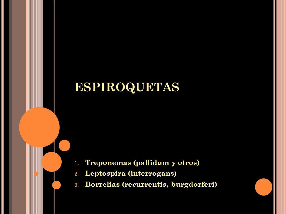 ESPIROQUETAS 1. Treponemas (pallidum y otros) 2. Leptospira (interrogans) 3. Borrelias (recurrentis, burgdorferi)