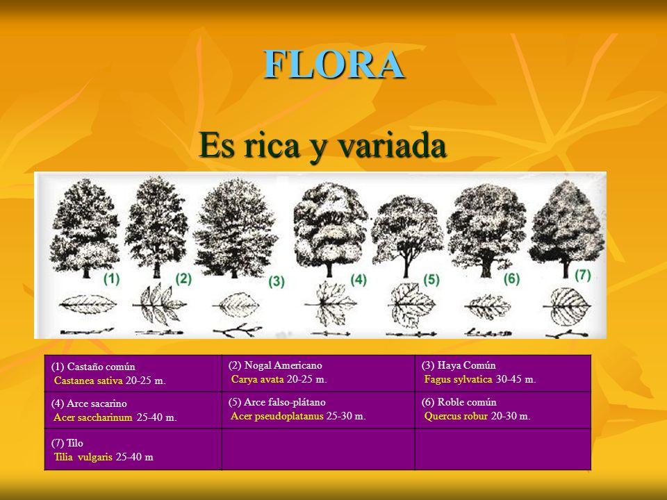 FLORA Es rica y variada Es rica y variada (1) Castaño común Castanea sativa 20-25 m.