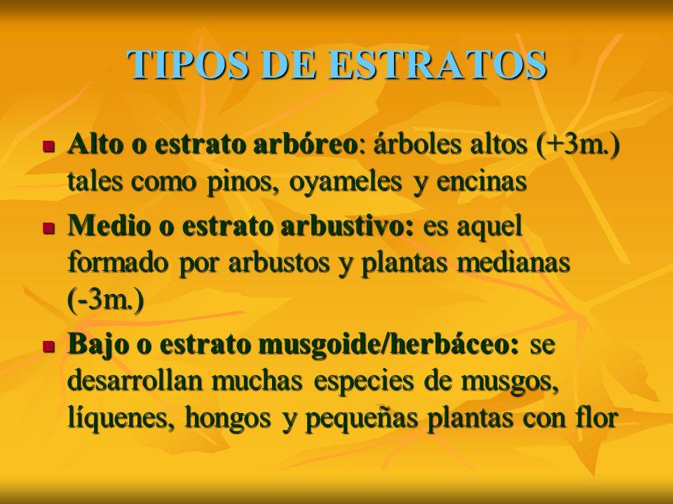 TIPOS DE ESTRATOS Alto o estrato arbóreo: árboles altos (+3m.) tales como pinos, oyameles y encinas Alto o estrato arbóreo: árboles altos (+3m.) tales como pinos, oyameles y encinas Medio o estrato arbustivo: es aquel formado por arbustos y plantas medianas (-3m.) Medio o estrato arbustivo: es aquel formado por arbustos y plantas medianas (-3m.) Bajo o estrato musgoide/herbáceo: se desarrollan muchas especies de musgos, líquenes, hongos y pequeñas plantas con flor Bajo o estrato musgoide/herbáceo: se desarrollan muchas especies de musgos, líquenes, hongos y pequeñas plantas con flor