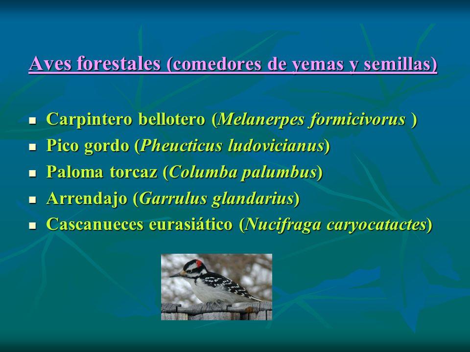 Aves forestales (comedores de yemas y semillas) Carpintero bellotero (Melanerpes formicivorus ) Carpintero bellotero (Melanerpes formicivorus ) Pico gordo (Pheucticus ludovicianus) Pico gordo (Pheucticus ludovicianus) Paloma torcaz (Columba palumbus) Paloma torcaz (Columba palumbus) Arrendajo (Garrulus glandarius) Arrendajo (Garrulus glandarius) Cascanueces eurasiático (Nucifraga caryocatactes) Cascanueces eurasiático (Nucifraga caryocatactes)