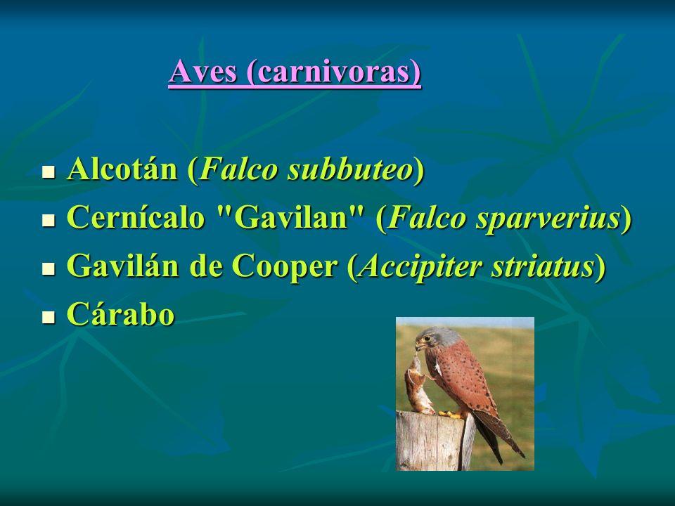 Aves (carnivoras) Alcotán (Falco subbuteo) Cernícalo Gavilan (Falco sparverius) Gavilán de Cooper (Accipiter striatus) Cárabo