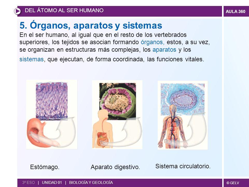 © GELV AULA 360 5. Órganos, aparatos y sistemas En el ser humano, al igual que en el resto de los vertebrados superiores, los tejidos se asocian forma