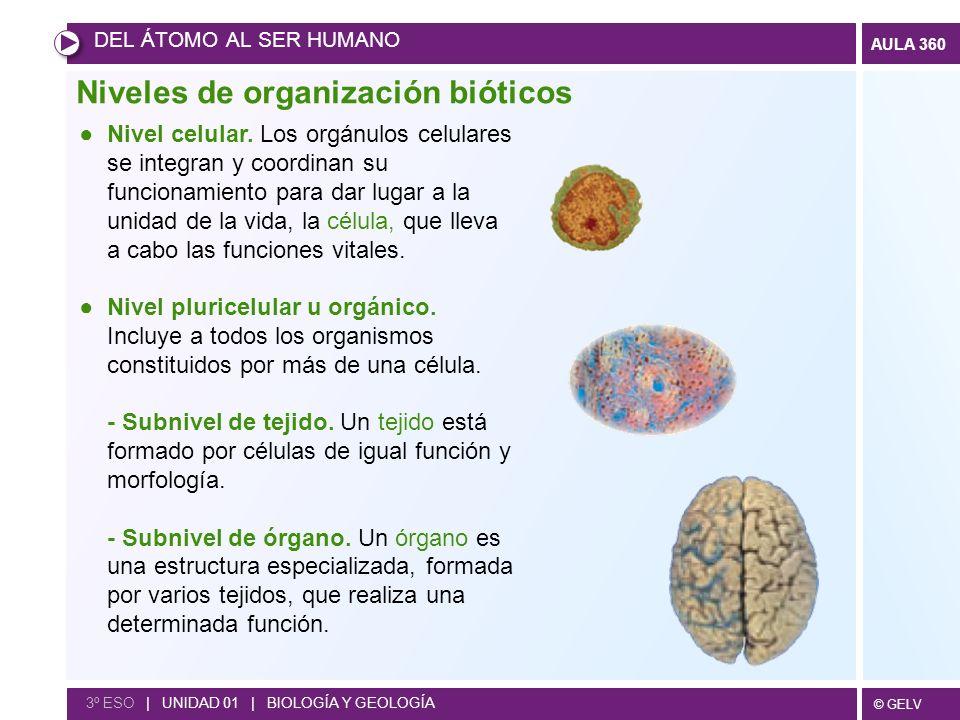 © GELV AULA 360 Niveles de organización bióticos DEL ÁTOMO AL SER HUMANO 3º ESO | UNIDAD 01 | BIOLOGÍA Y GEOLOGÍA Nivel celular. Los orgánulos celular