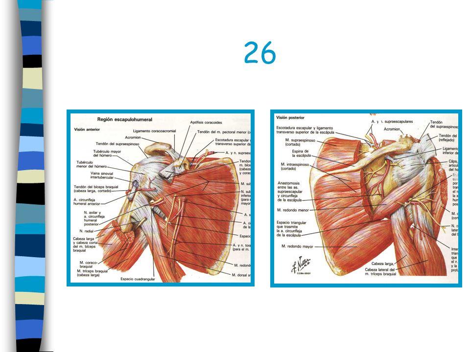 Tendones Valoración de : Diagnóstico de tendinitis aguda y crónica Ruptura de tendones Luxación de tendones Ruptura del manguito rotatorio