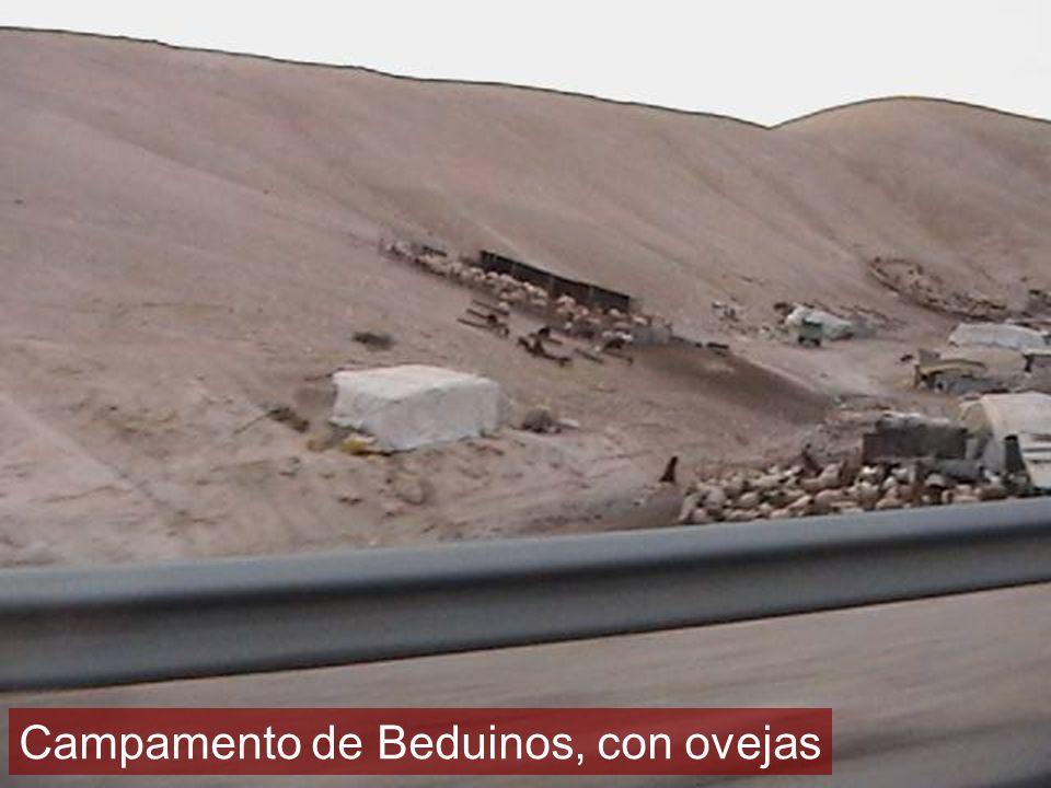 Campamento de Beduinos, con ovejas