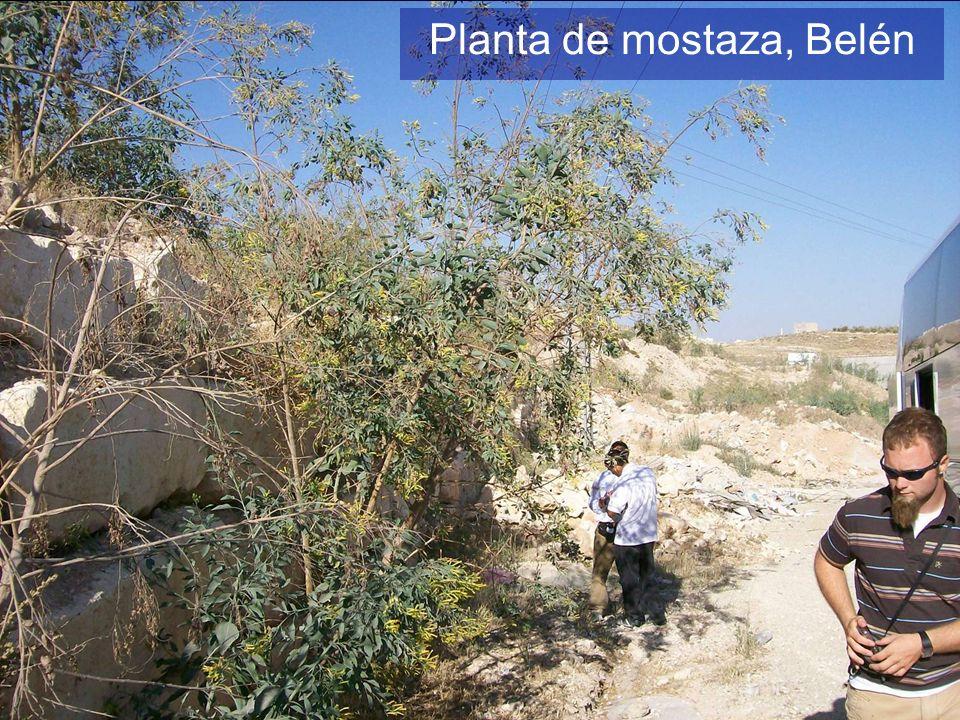 Planta de mostaza, Belén