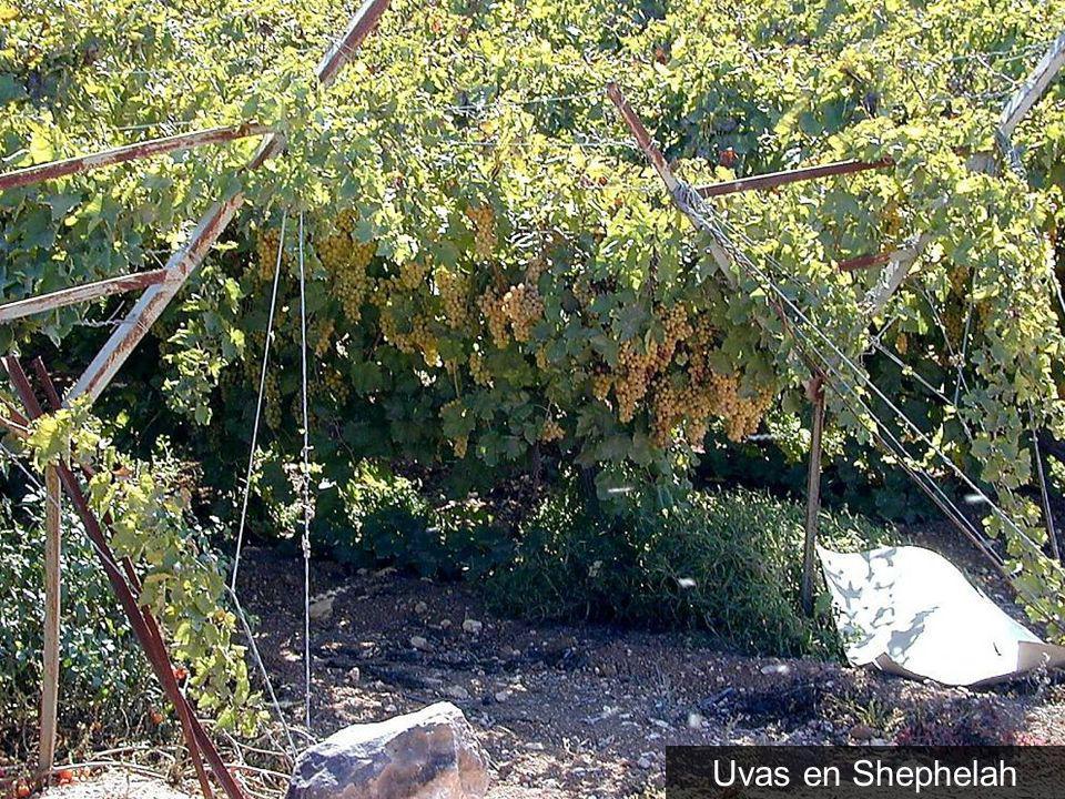 Uvas en Shephelah