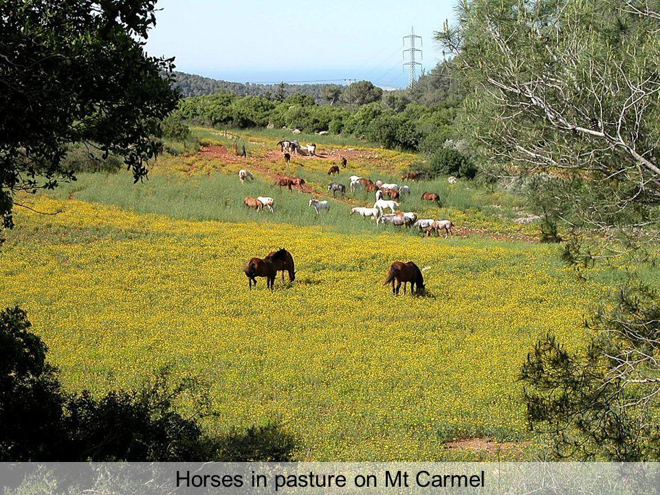 Horses in pasture on Mt Carmel