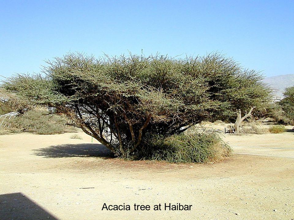 Acacia tree at Haibar