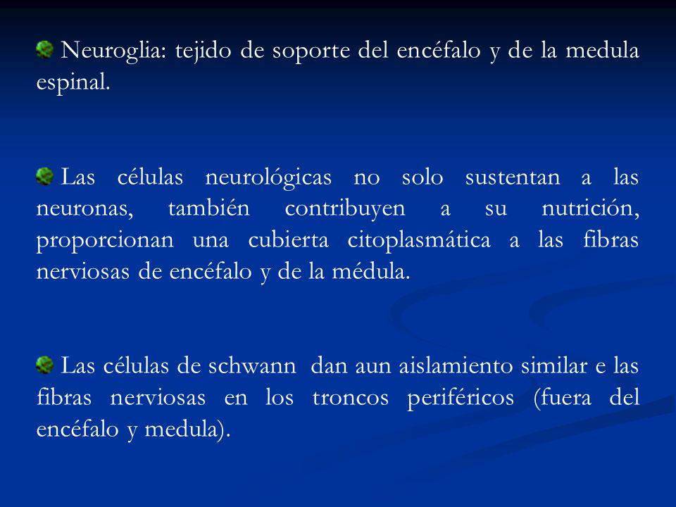 Neuroglia: tejido de soporte del encéfalo y de la medula espinal. Las células neurológicas no solo sustentan a las neuronas, también contribuyen a su